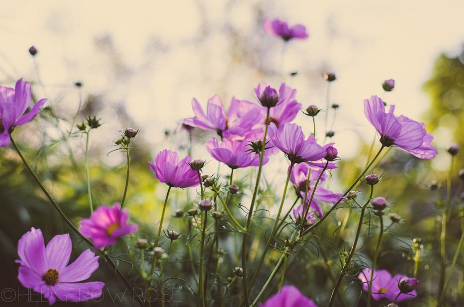 cosmos 1 | hedgerow rose