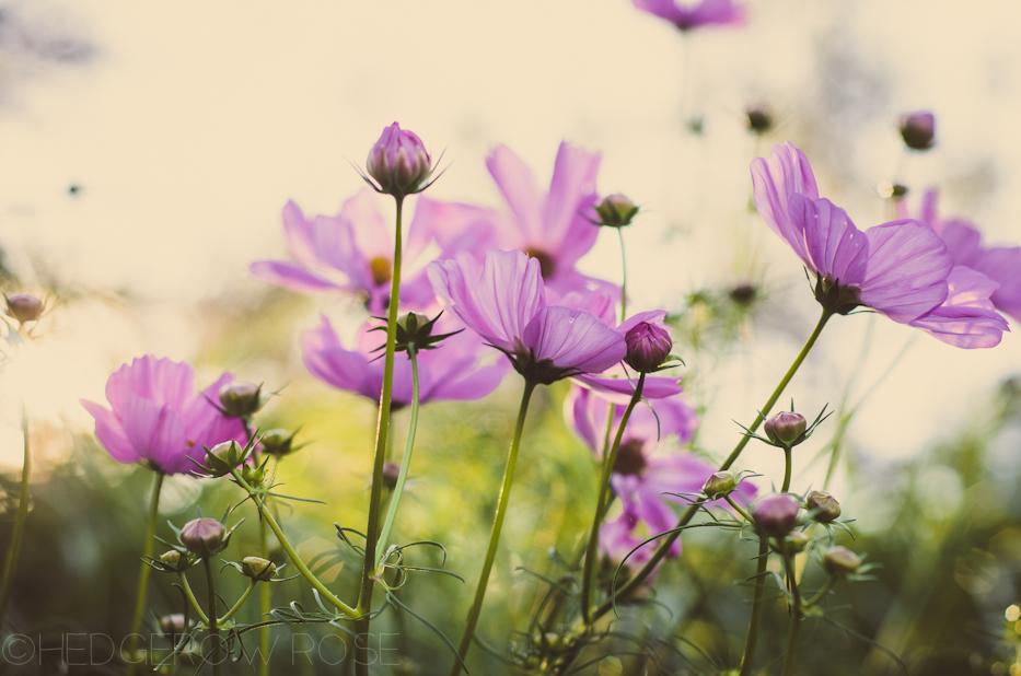 cosmos 3 | hedgerow rose