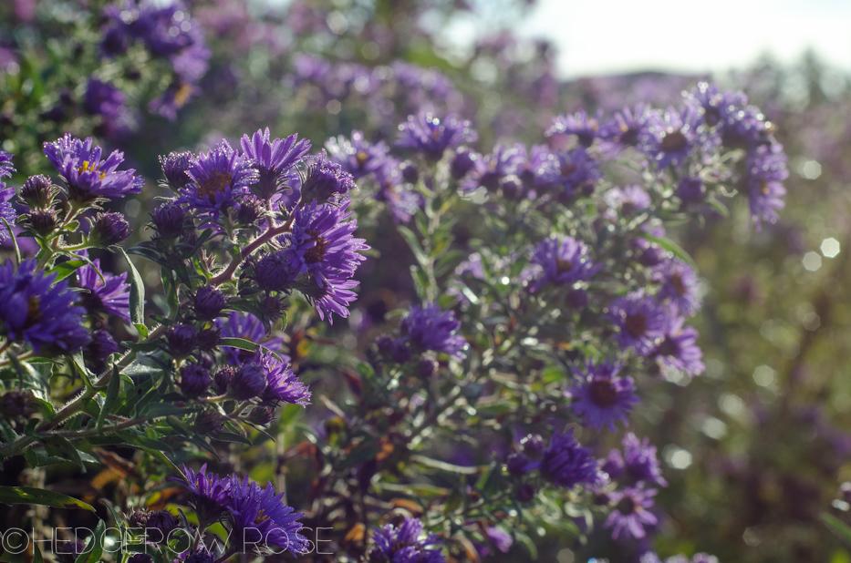 purple aster 9-19-4