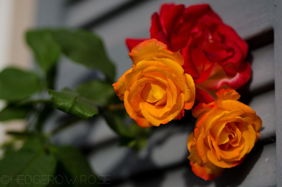 Piñata | Hedgerow Rose