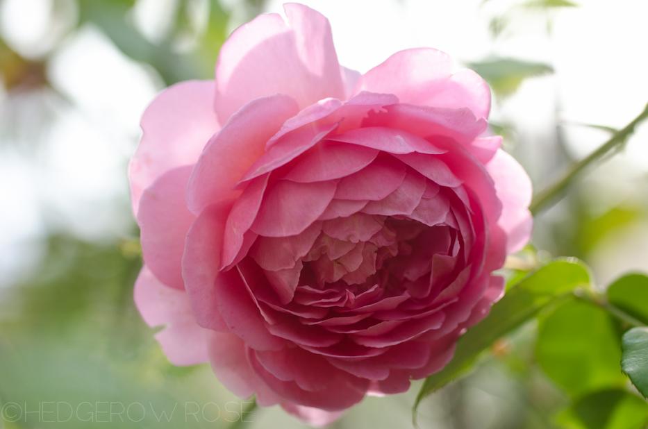 Princess Alexandra of Kent | Hedgerow Rose
