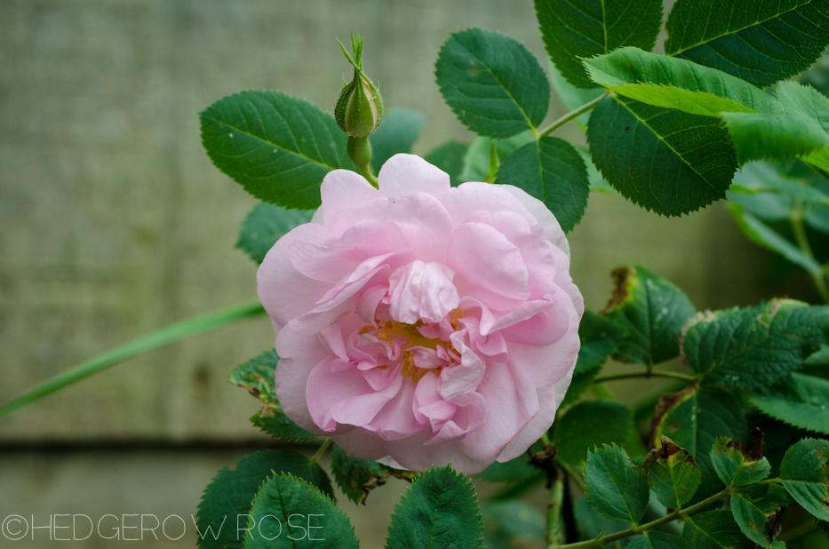 'Celestial' an Alba Rose | Hedgerow Rose