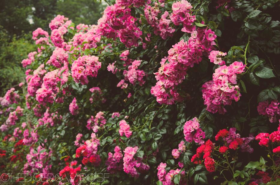 Elizabeth Park Rose Garden 12 | via HedgerowRose.com