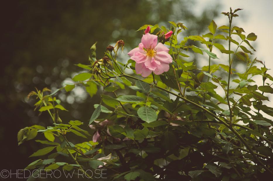 Elizabeth Park Rose Garden 17 | via HedgerowRose.com