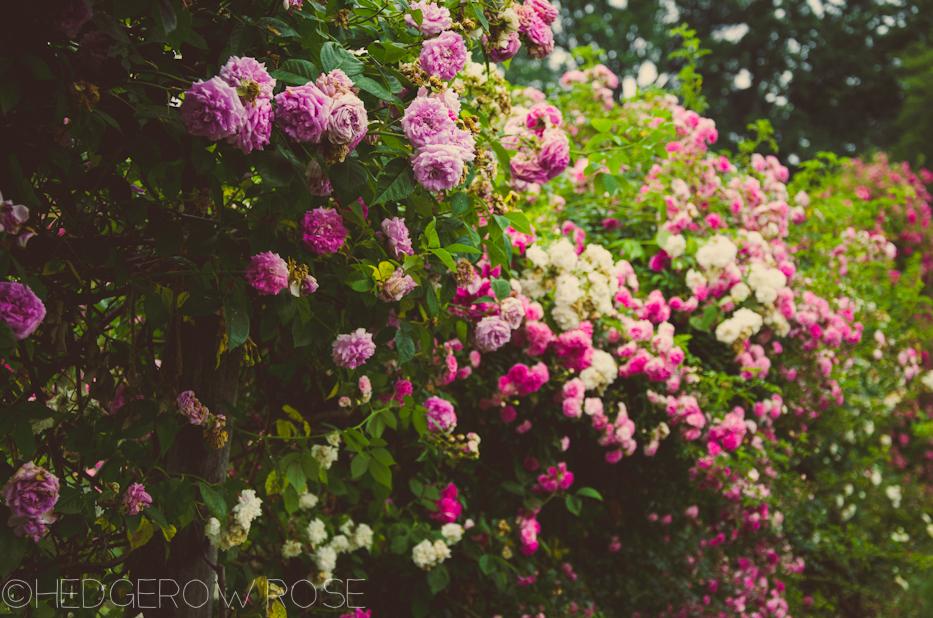 Elizabeth Park Rose Garden 2 | via HedgerowRose.com