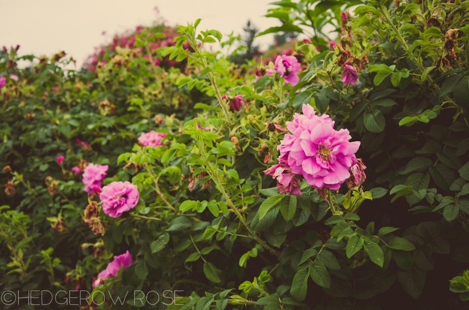 Elizabeth Park Rose Garden 3 | via HedgerowRose.com