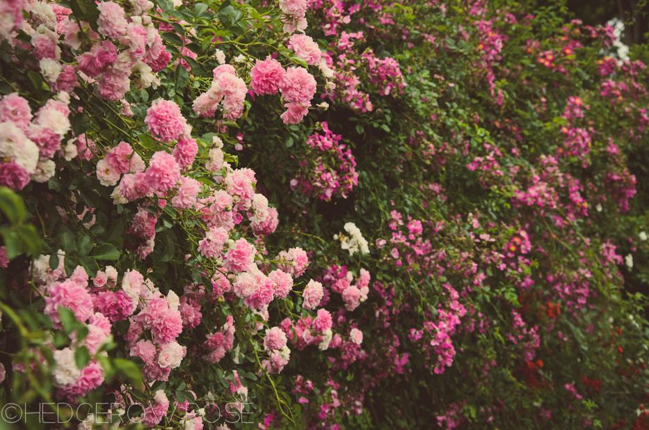 Elizabeth Park Rose Garden 8 | via HedgerowRose.com