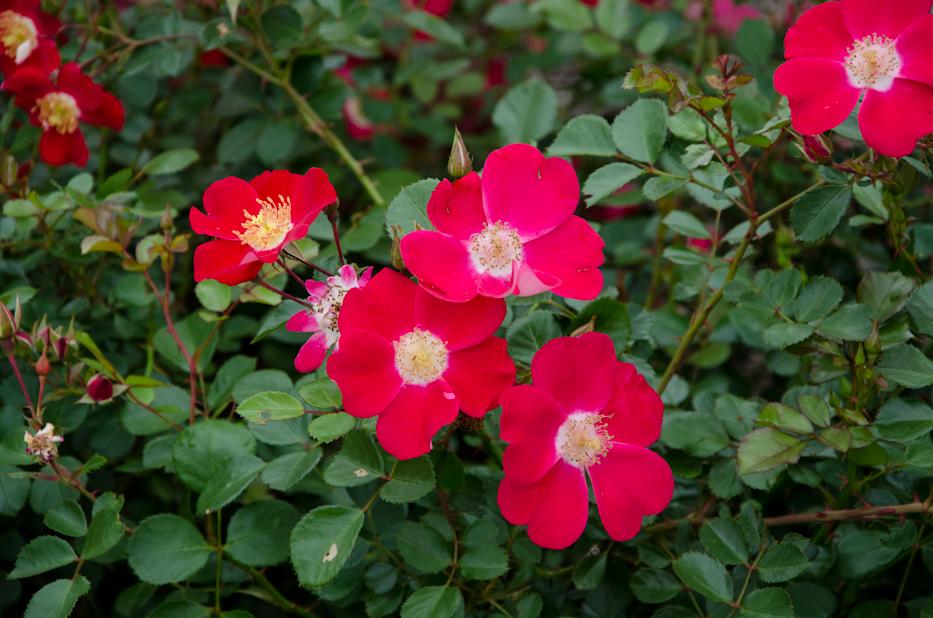 Oso Easy Cherry Pie Shrub Rose 2 via Hedgerow Rose.jpg