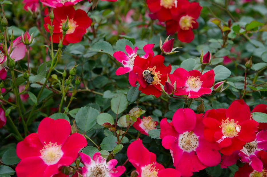Oso Easy Cherry Pie Shrub Rose 5 via Hedgerow Rose