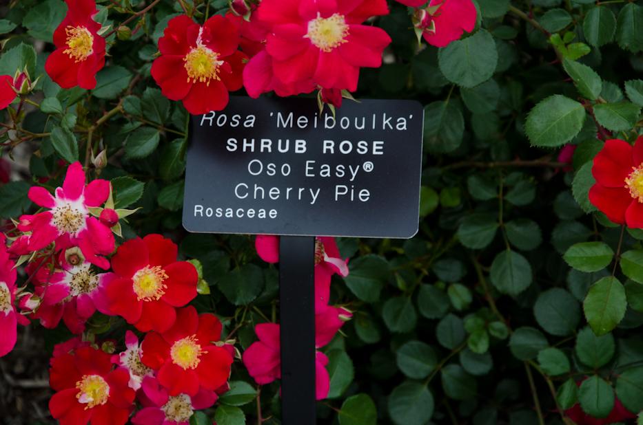 Oso Easy Cherry Pie Shrub Rose 6 via Hedgerow Rose