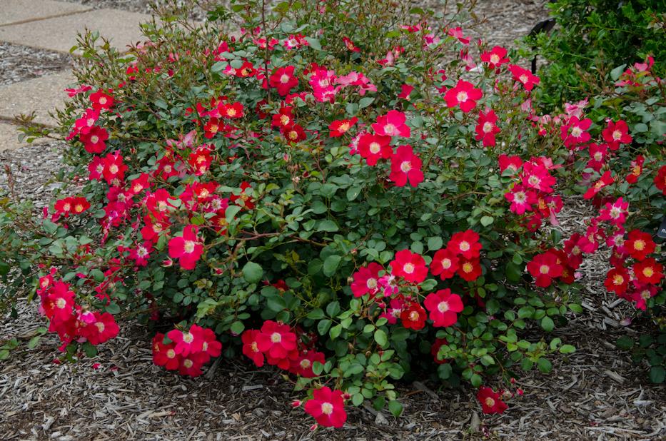 Oso Easy Cherry Pie Shrub Rose via Hedgerow Rose