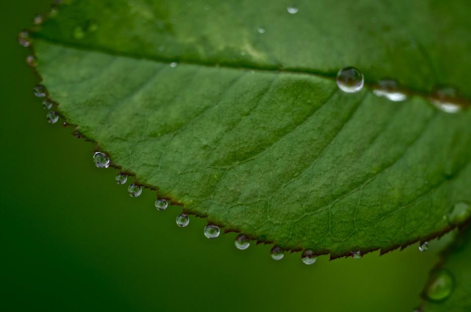 Dewdrops on Reine des Violettes