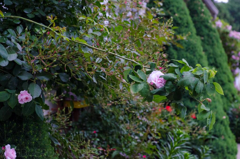 Fantin Latour and Flower Carpet Roses in June 2013 1