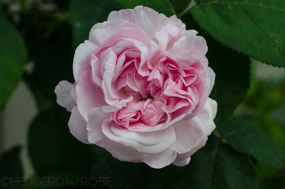 """Très Romancing """"Fantin-Latour"""" Centifolia Rose PV22"""