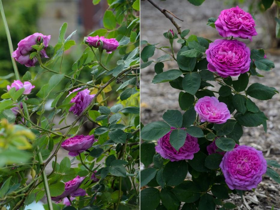 Reine-des-Violettes-rose-in-June