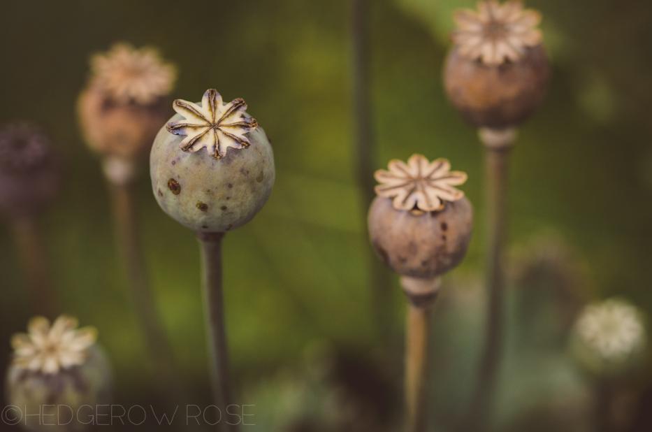 poppy pods 9-12-2-3