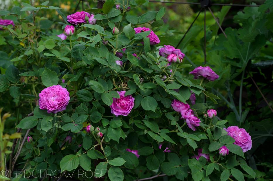 reine des violettes june 2013 2
