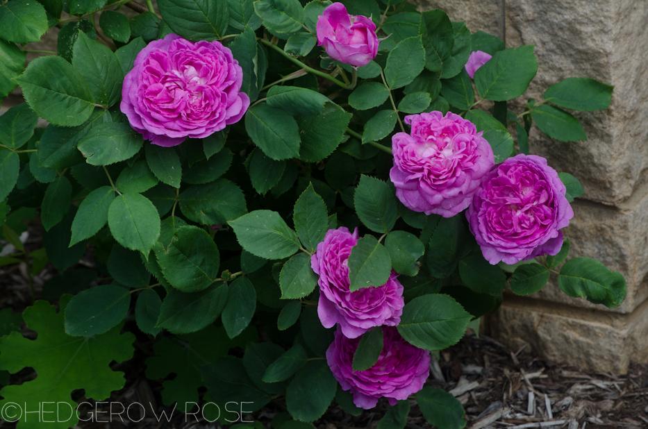 reine des violettes june 2013 3