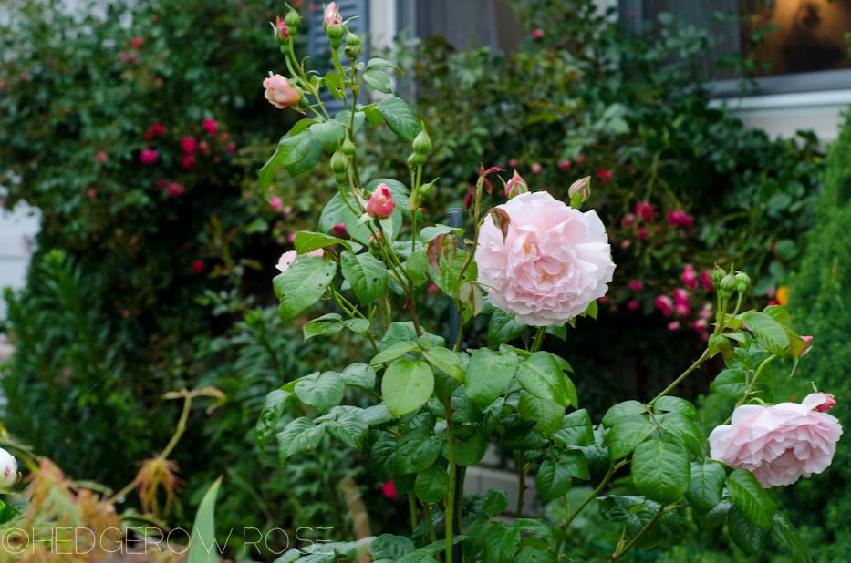 Strawberry Hill David Austin rose 2013