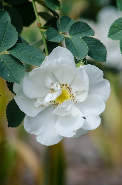 rosa alba semi plena june 2013 3