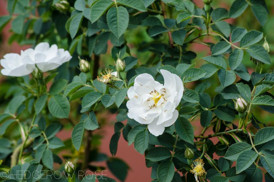 rosa alba semi plena june 2013 4