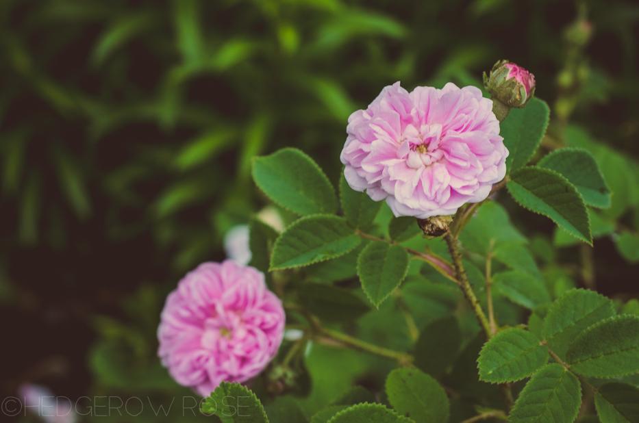 Petite Lisette rose June 2013 1-3