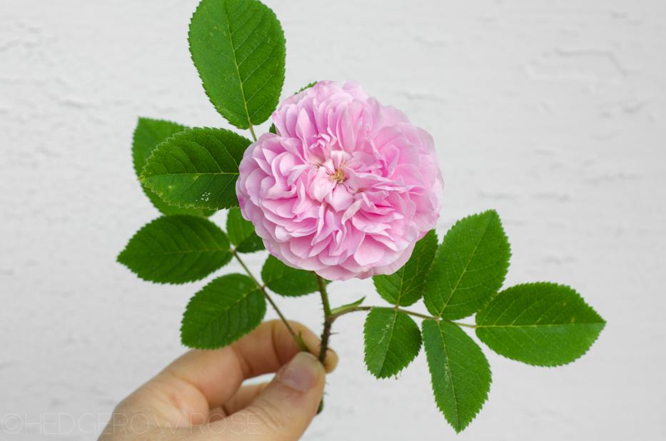 Petite Lisette single blossom