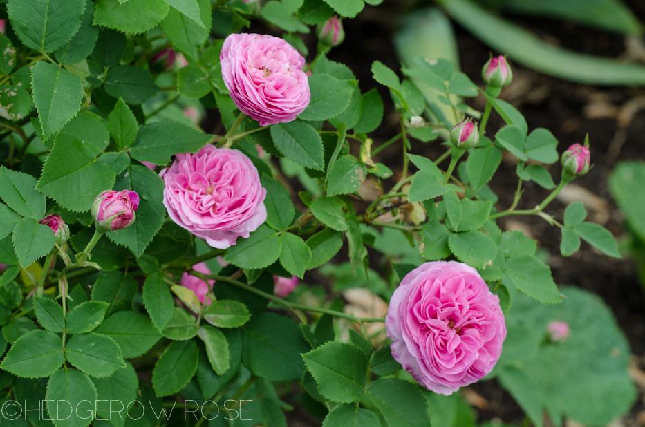 Reine Victoria via Hedgerow Rose - 1