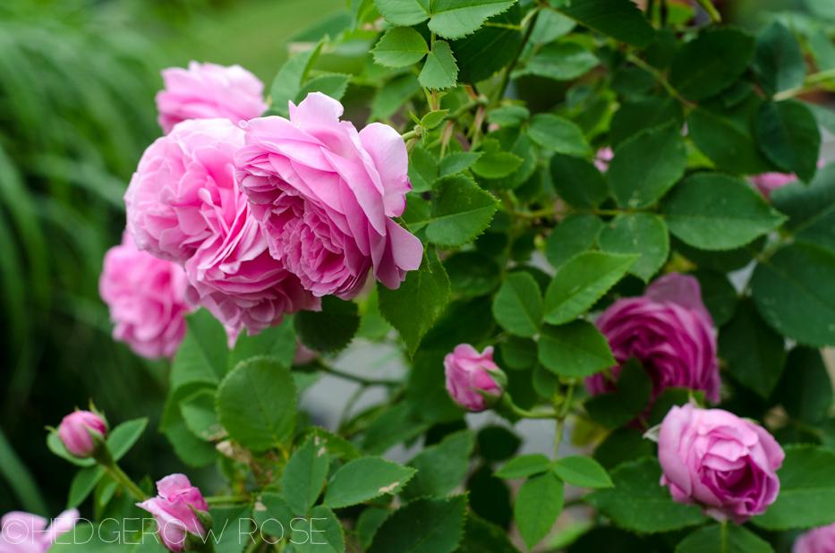 Reine Victoria via Hedgerow Rose - 4