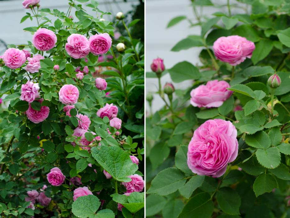 Reine Victoria via Hedgerow Rose - 8