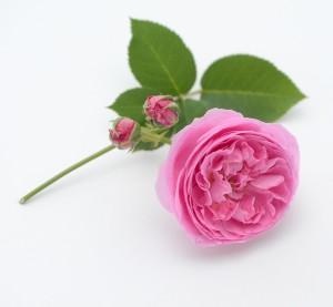 Reine Victoria via Hedgerow Rose 9