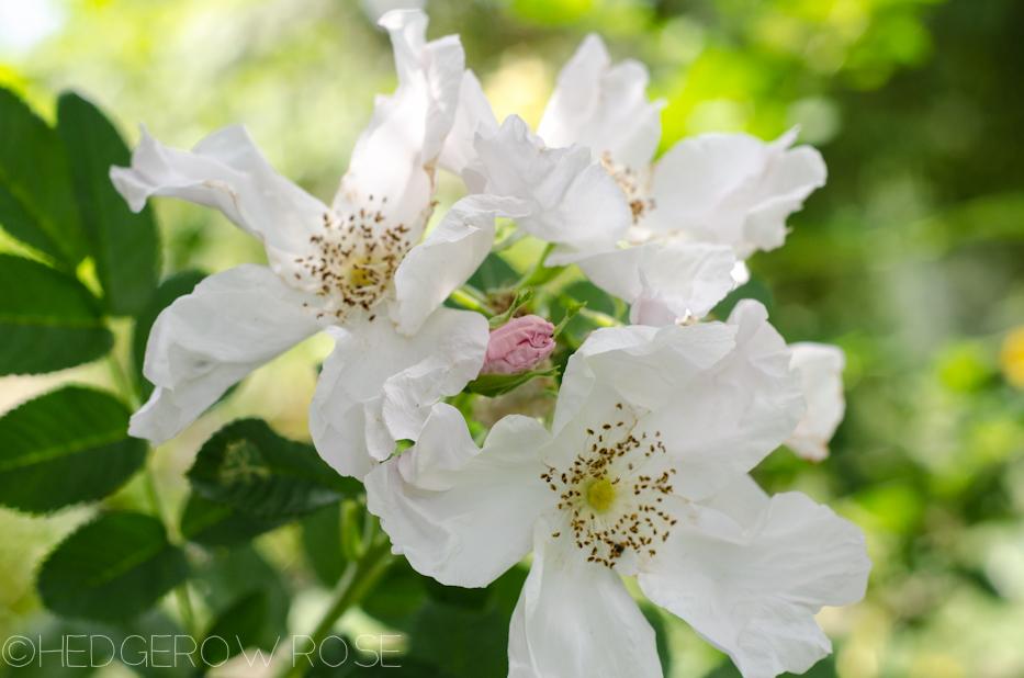 Rosa rugosa Alba 9-12-2-1