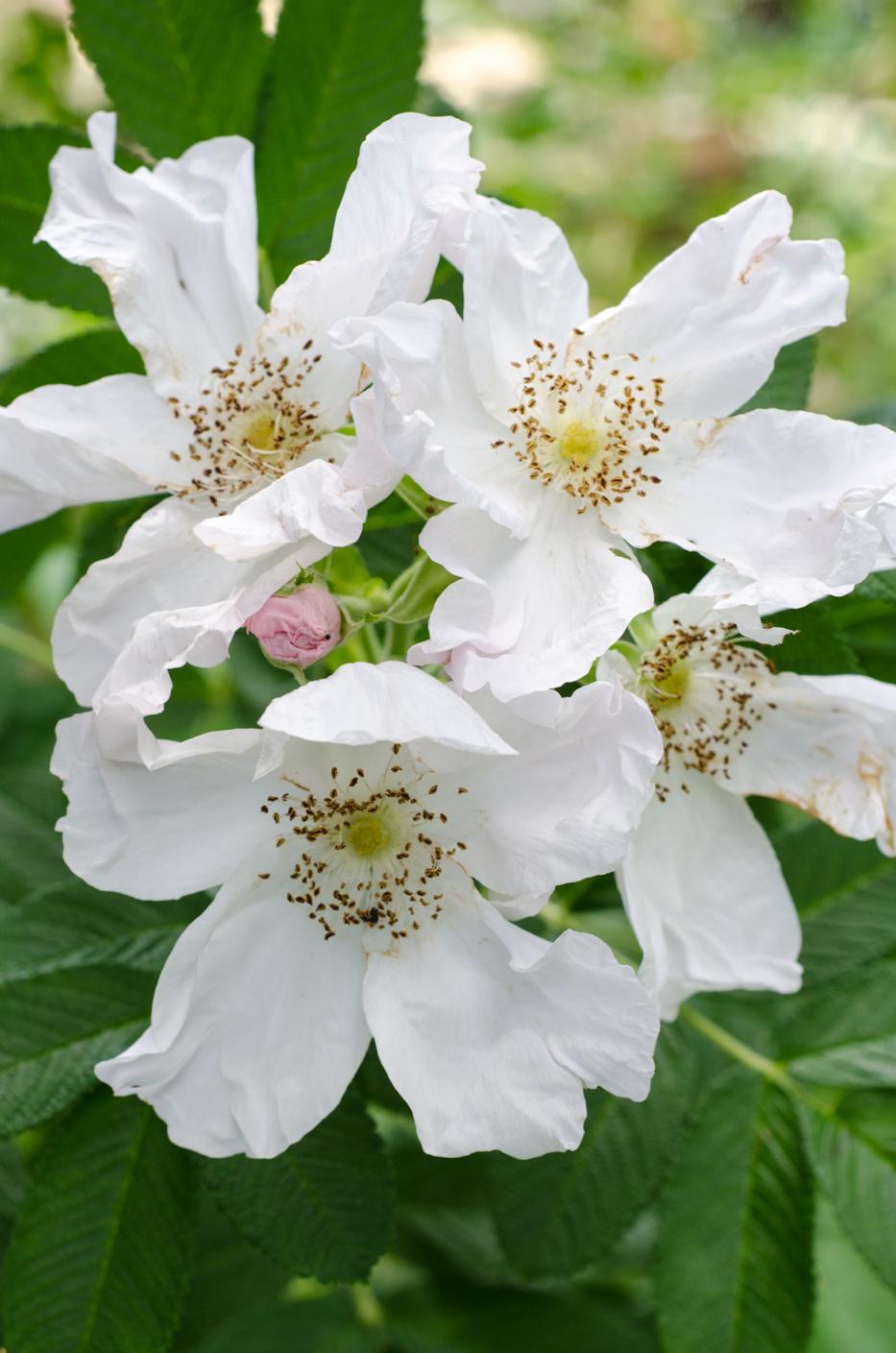 Rosa rugosa 'Alba' via Hedgerow Rose