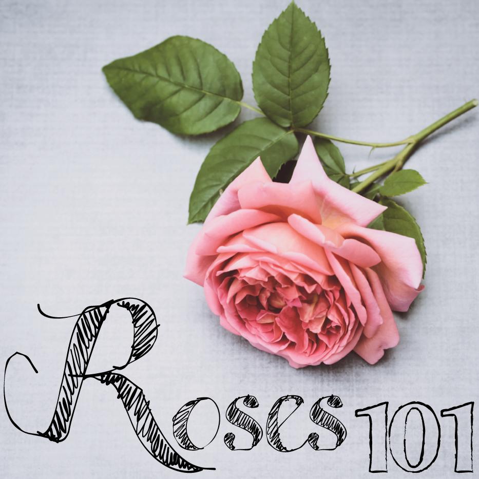 Roses-101-via-Hedgerow-Rose