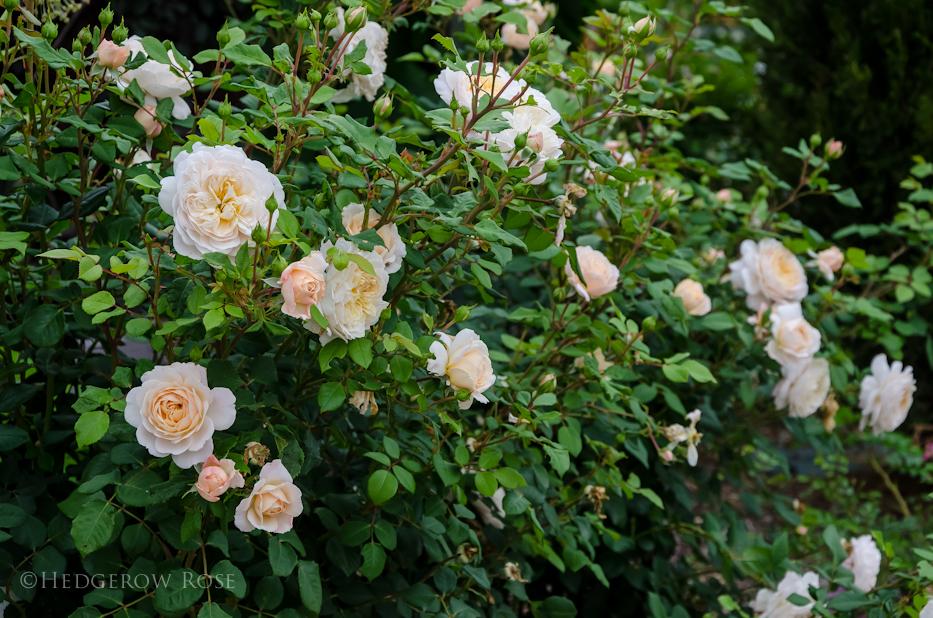 David Austin's Crocus Rose via Hedgerow Rose - 2
