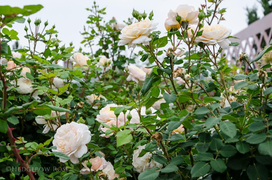 David Austin's Crocus Rose via Hedgerow Rose - 4