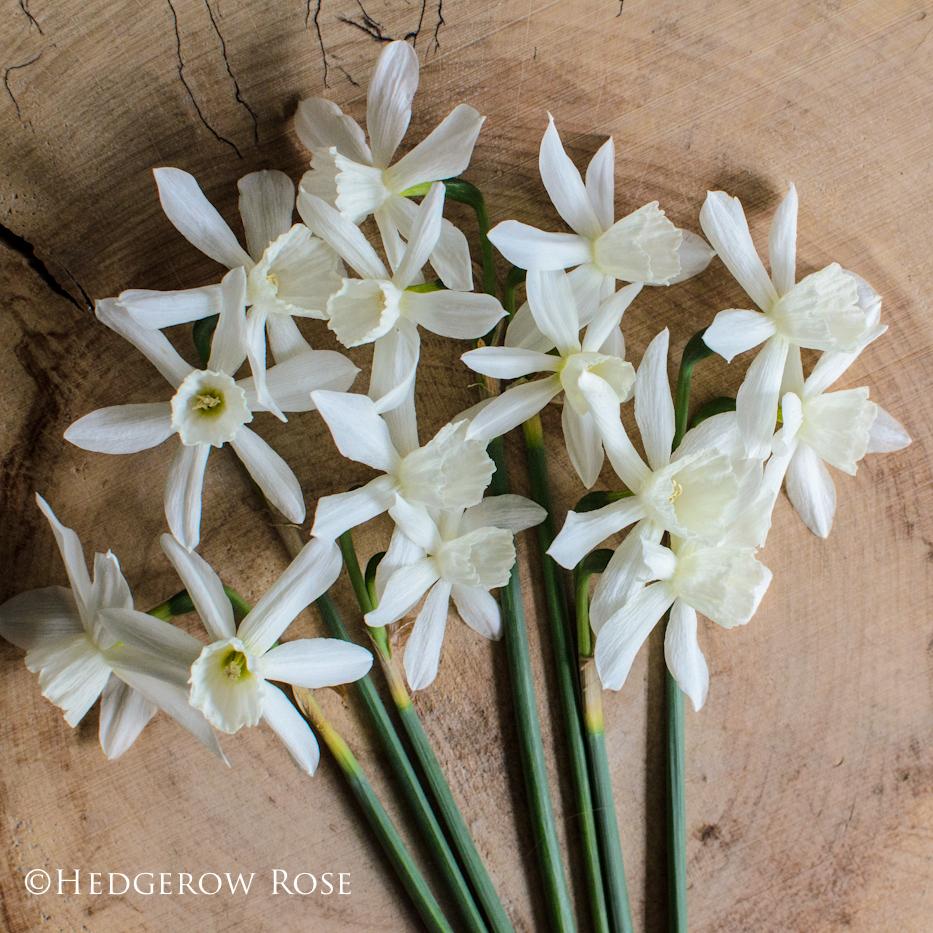 Narcissus Thalia via Hedgerow Rose