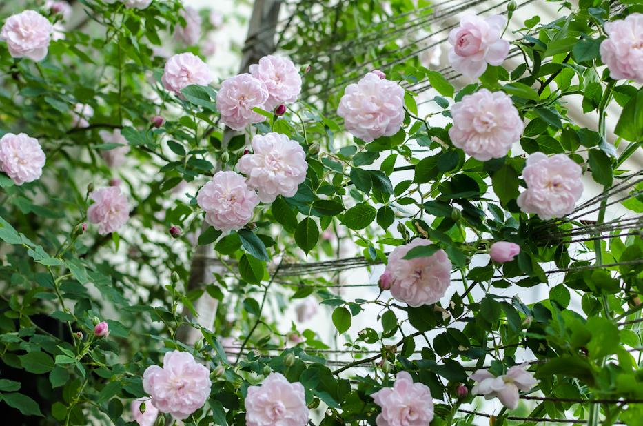 Arcata Pink Globe 1 via Hedgerow Rose
