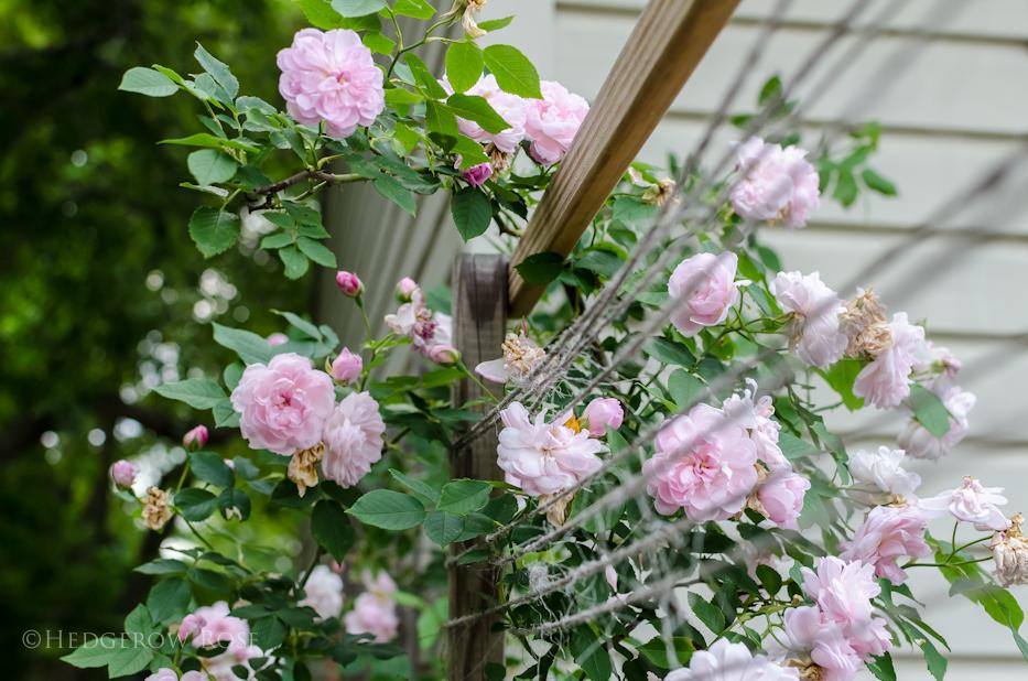 Arcata Pink Globe 4 via Hedgerow Rose