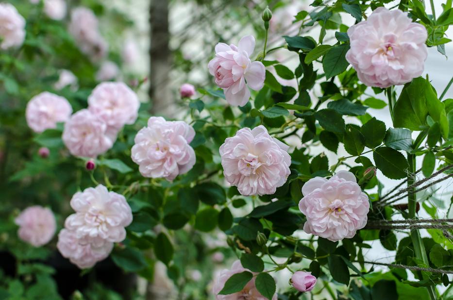 Arcata Pink Globe 5 via Hedgerow Rose