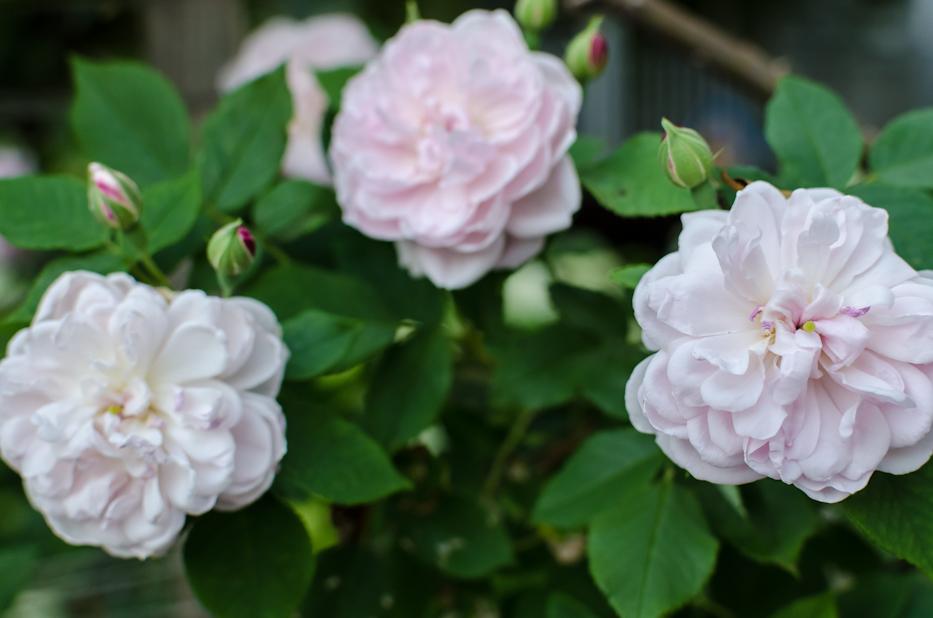 Arcata Pink Globe 7 via Hedgerow Rose