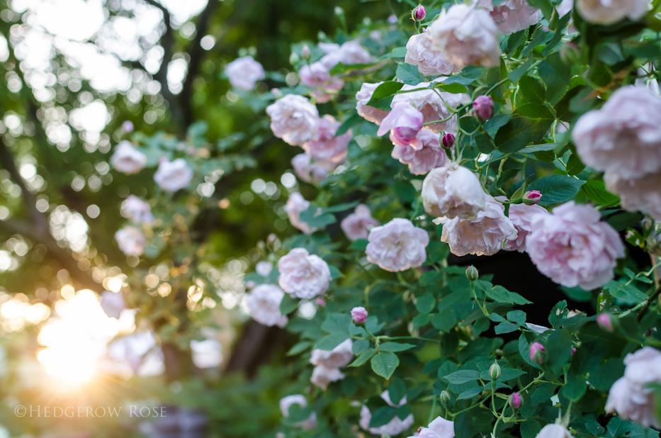 Arcata Pink Globe 8 via Hedgerow Rose