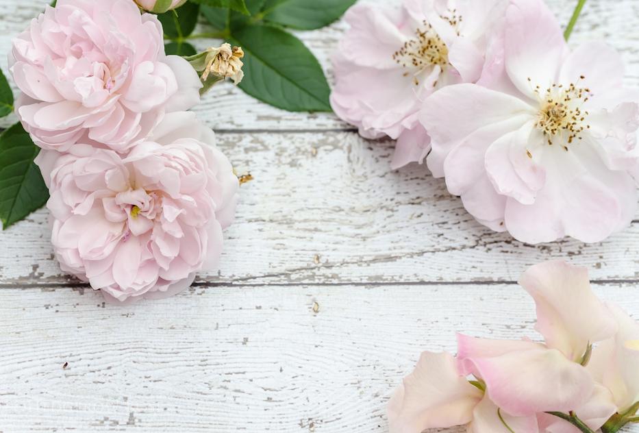 Blush Pink Roses 1