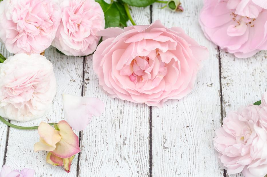 Blush Pink Roses 3