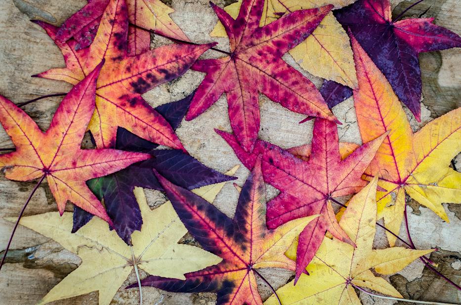 Sweet Gum Leaves_
