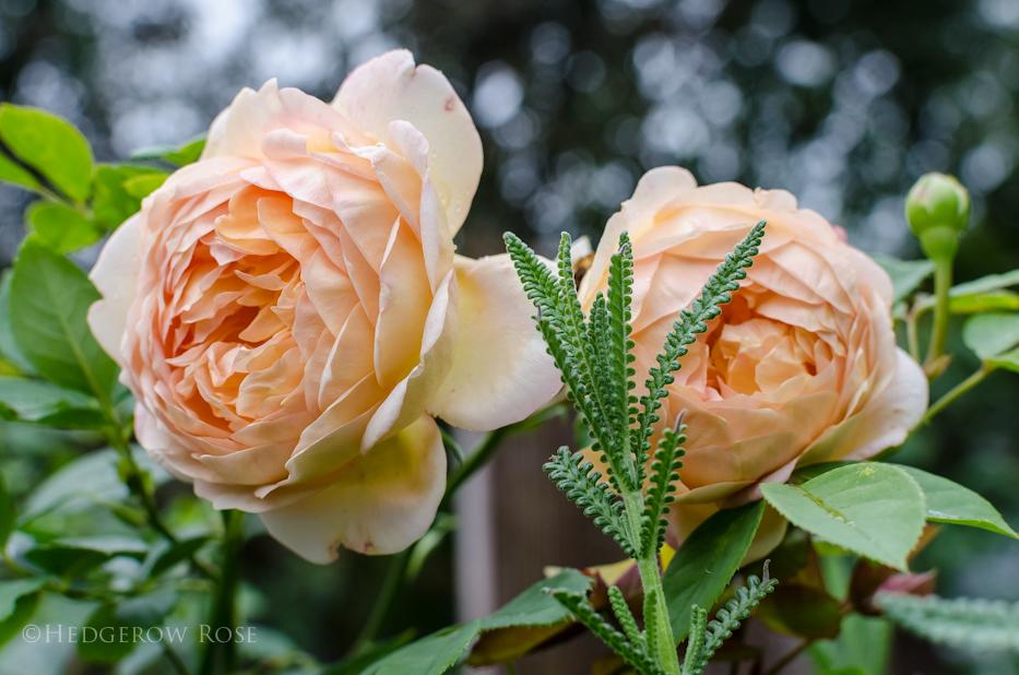 Lady of Shalott via Hedgerow Rose - 6