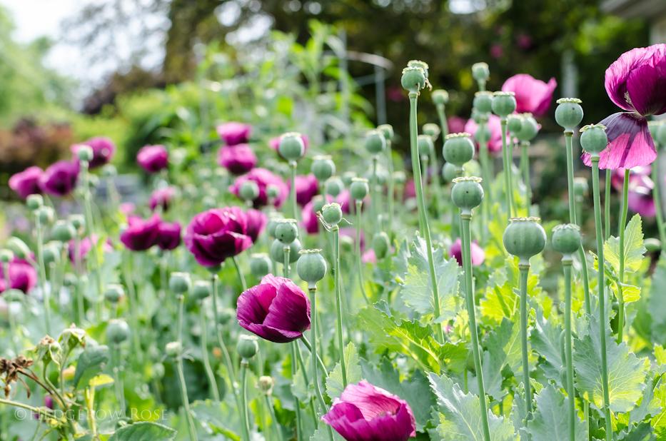 Lauren's Grape Poppy Seeds 5