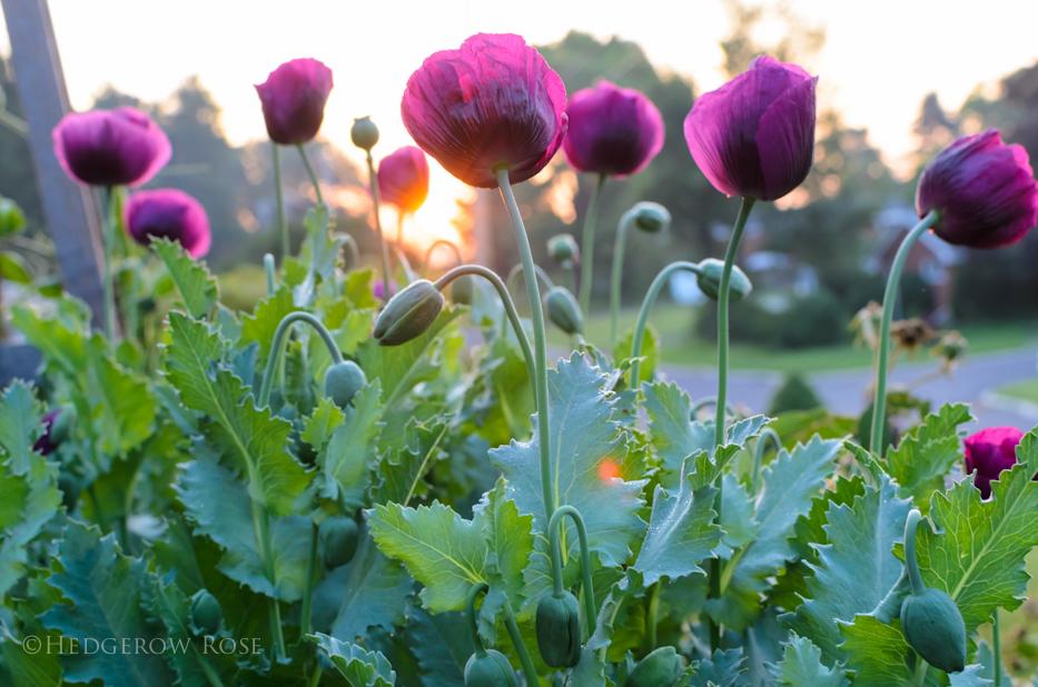 Lauren's Grape Poppy Seeds 8