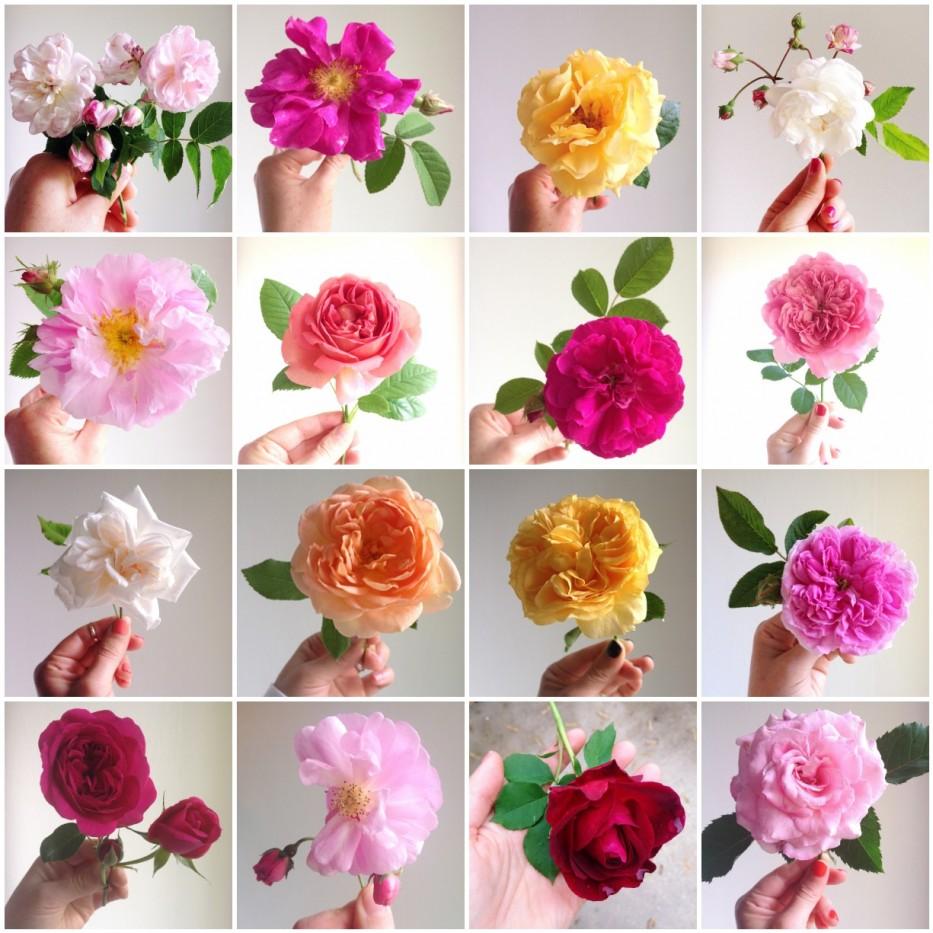Simple Beauty Rose Series 2014 via Hedgerow Rose