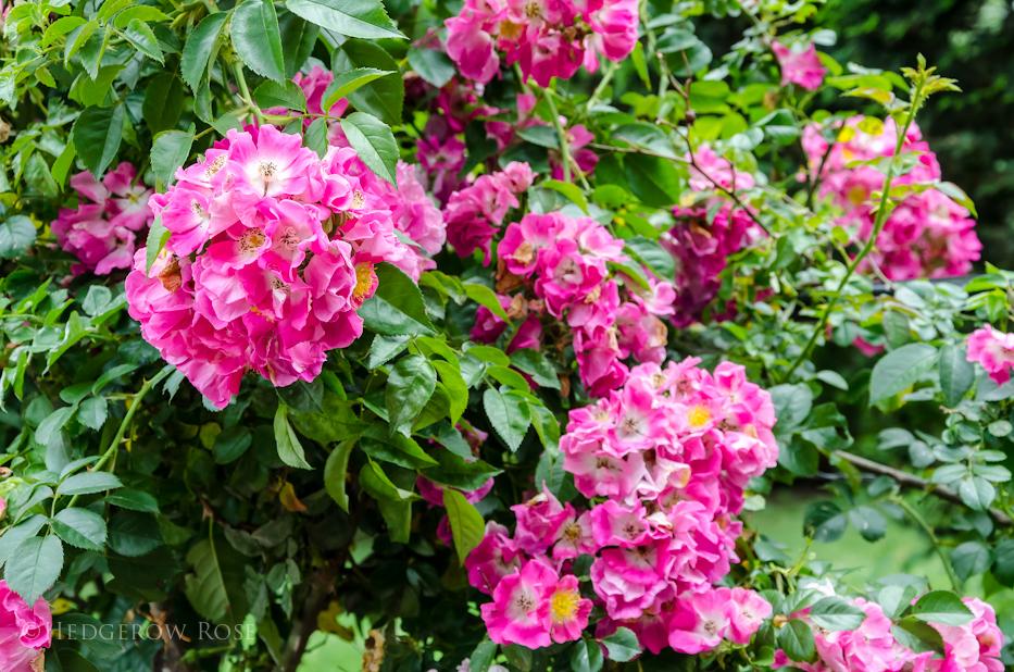 American Pillar Elizabeth Park Rose Garden 2